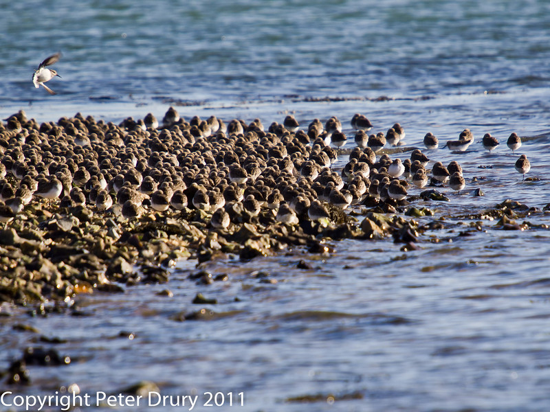 08 February 2011. Dunlin, Oystercatchers and Grey Plover roosting near the Oysterbeds. Copyright Peter Drury 2011