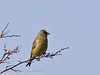 21 March 2011. Greenfinch alongside the Hayling Billy Trail.  Copyright Peter Drury 2011