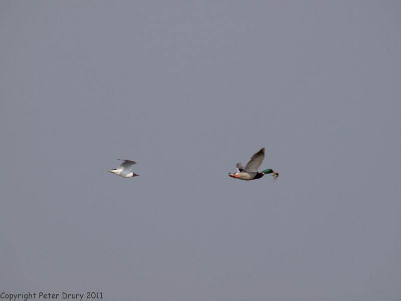 24 April 2011. Mallard with crab being harried by Black-headed Gull at the Oysterbeds. Copyright Peter Drury 2011