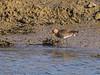 Seen at Broadmarsh in breeding plumage.