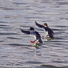 12 February 2011. Red breasted Merganser at Southmoor. Copyright Peter Drury 2011<br /> A pair landing, male left and female right.