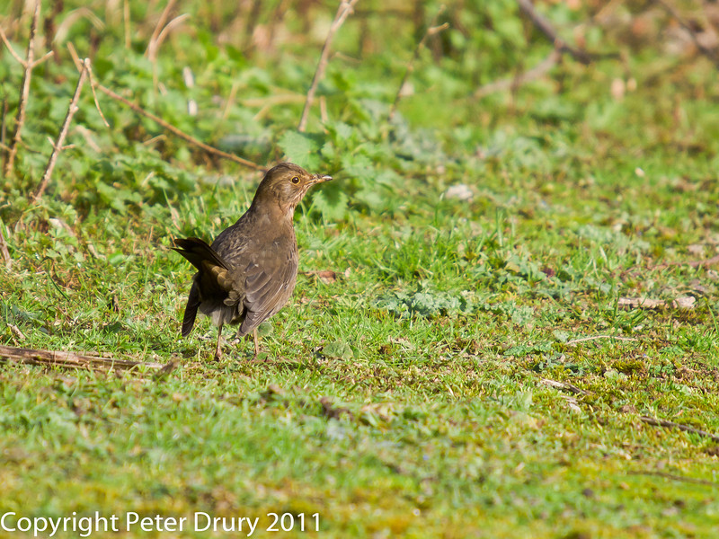 24 February 2011. Blackbird alongside the Hayling Billy trail. Copyright Peter Drury 2011