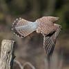 Kestrel (Falco tinnunculus). Copyright Peter Drury 2010