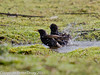 17 February 2011. Starlings bathing in a pool in the meadow between the oysterbeds and the Hayling Billy trail. Copyright Peter Drury 2011