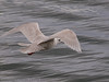18 March 2012 Iceland Gull at Broadmarsh.