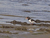 18 Oct 2011 Oystercatcher at West Hayling LNR.