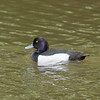 Tufted Duck (Aythya fuligula) male. Copyright Peter Drury 2010<br /> The tufts on the back of the head is what gives this duck its common name.
