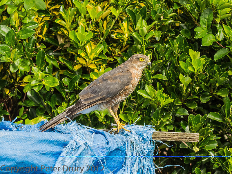 15 August 2012 Juvenile Sparow hawk at Widley.
