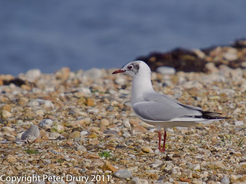 27 February 2011. Mediterranean Gull on South Island. Copyright Peter Drury 2011
