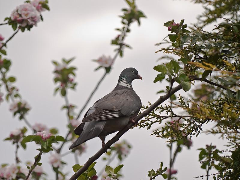 Woodpigeon (Columba palumbus). Copyright Peter Drury 2010