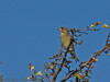 02 Oct 2011 Greenfinch at Farlington Marshes