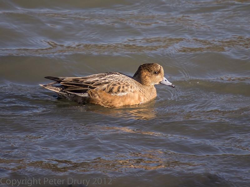 02 Feb 2012. Widgeon feeding on the shoreline at Broadmarsh.