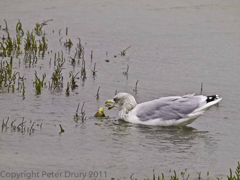 11 Oct 2011 Herring Gull at the Oysterbeds. Enjoying a tasty crab.