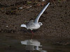 Black-headed Gull (Larus ribibundus). Copyright Peter Drury 2010