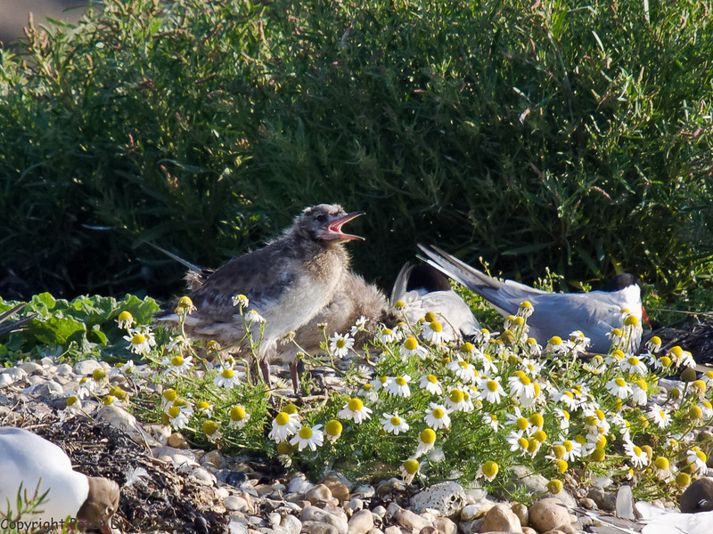 04 July 2011. Chick calling out for food. Copyright Peter Drury 2011