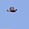 04 March 2011. Buzzard in flight over Southmoor. Copyright Peter Drury 2011
