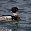 17 February 2011. Red-breasted Merganser (male) in the lagoon at the Oysterbeds. Copyright Peter Drury 2011
