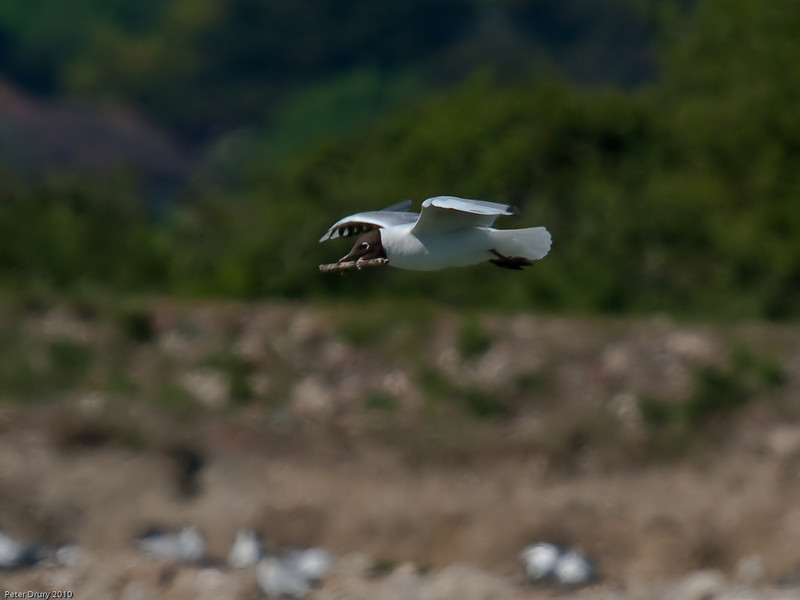 Nest building continues on South Island with Black-headed gulls bringing in more material. Copyright Peter Drury 2010