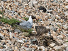 22 July 2010 - Black-headed Gull chick struggling to eat a flat fish. Copyright Peter Drury 2010