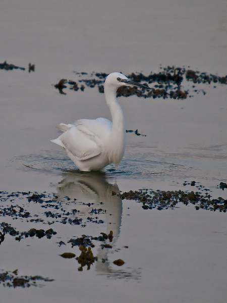 Little Egret (Egretta garzetta). Copyright Peter Drury 2010<br /> Taken late in the day but thought I would give it a try. Whoops, it's a bit deeper than it thought.