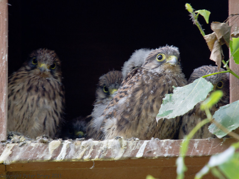 02 Jun 2011. Kestrel Chicks. All six can be seen although the 'snowy' head of one is almost obscured. Copyright Peter Drury 2011