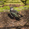 Northern Lapwing at Birdworld, Farnham