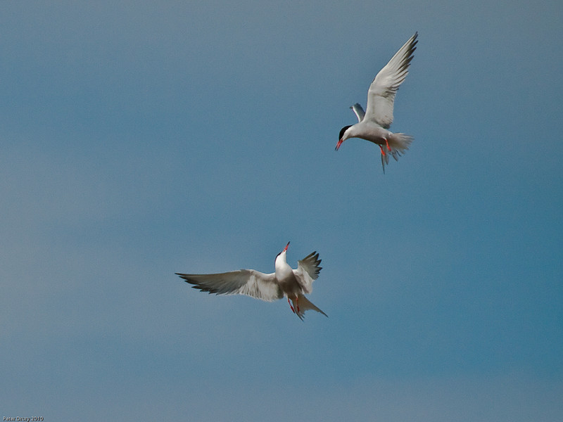 Fishing dispute between Common Tern leads to this aerial combat. Copyright Peter Drury 2010