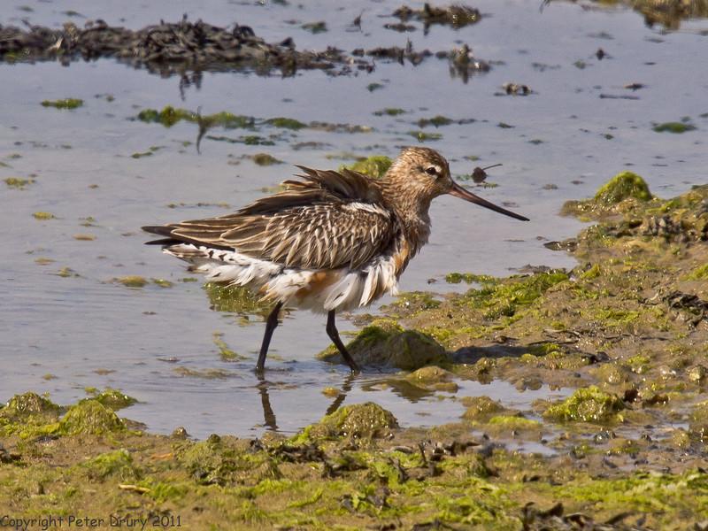 28 April 2011. Bar-tailed Godwit at the Oysterbeds. Copyright Peter Drury 2011