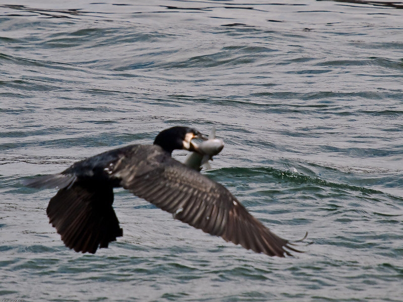 Cormorant (Phalacrocorax carbo) Fishing expedition. Copyright Peter Drury 2010
