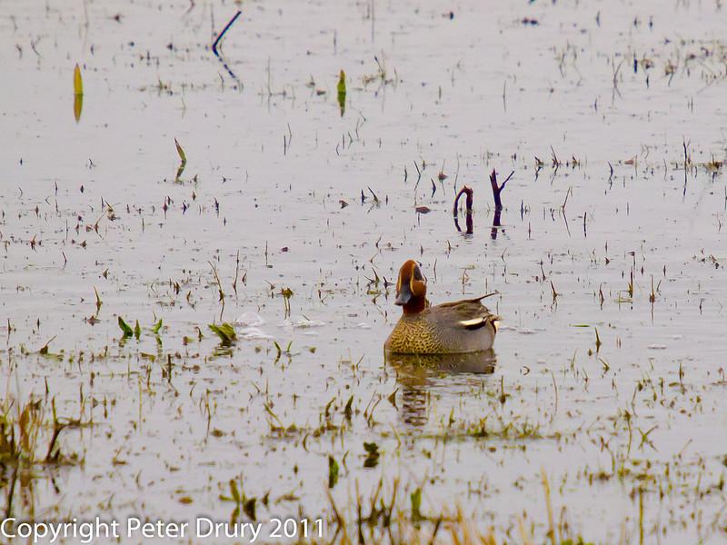11 March 2011. Teal (Drake) in breeding plumage at Keyhaven.  Copyright Peter Drury 2011