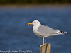27 February 2011. Herring Gull on South Island. Copyright Peter Drury 2011