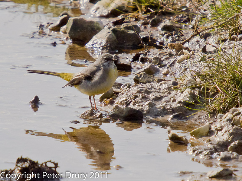 04 March 2011. Grey Wagtail at Southmoor. Copyright Peter Drury 2011
