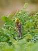Yellowhammer (Emberiza citrinella). Copyright Peter Drury 2010