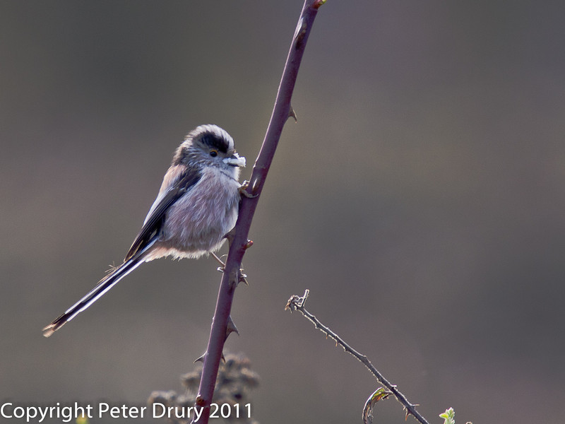 27 February 2011. Long-tailed Tit on the Hayling Billy Trail. Copyright Peter Drury 2011