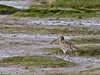 13 March 2011. Curlew in the old Oysterbeds.  Copyright Peter Drury 2011