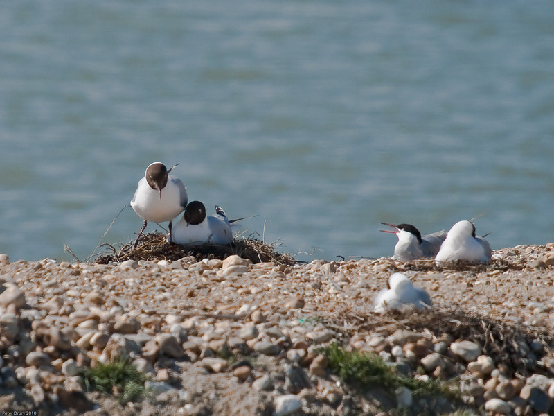 Shift change at the Black-headed Gull nest. Copyright Peter Drury 2010<br /> The Common Tern looks on with interest. It's a hot day and no doubt it too is waiting for its mate and relief at its nest scrape.