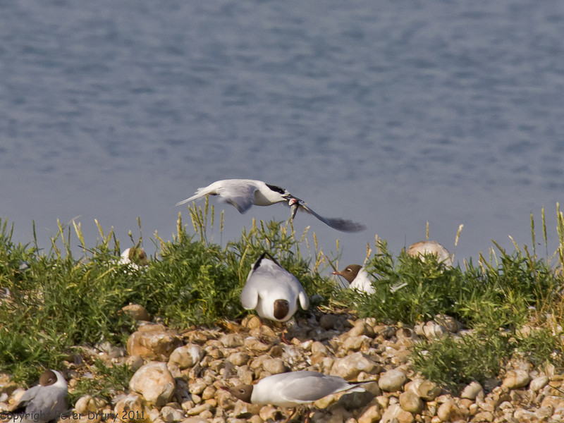04 July 2011. Sandwich Tern returning to the nest site on North Island. Copyright Peter Drury 2011