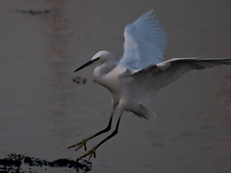 Little Egret (Egretta garzetta). Copyright Peter Drury 2010<br /> Taken late in the day but thought I would give it a try. Coming into land in the harbour.