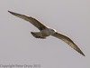 22 January 2012 Juvenile Herring Gull over the Hermitage Stream estuary.