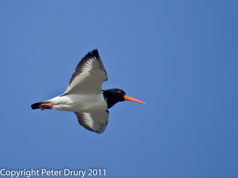 04 March 2011. Oystercatcher in flight over the Oysterbeds. Copyright Peter Drury 2011