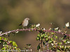 21 March 2011. Dunnock on the Hayling Billy Trail.  Copyright Peter Drury 2011