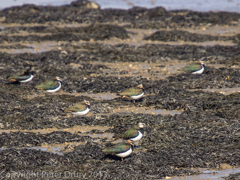 Lapwing resting on the shoreline between the road and disused railway bridges north Hayling.