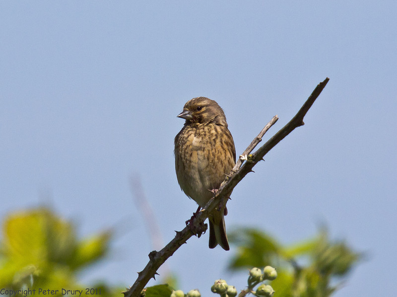 25 May 2011. Female Linnet at Milton Common. Copyright Peter Drury 2011