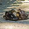04 July 2011. Mallard ducklings at Keydell Nursery. Copyright Peter Drury 2011