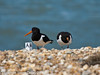 22 July 2010 - Oystercatcher fledgling and adult on South Island. Copyright Peter Drury 2010<br /> The fledgling will remain with its parents for some months before becoming totally independant.