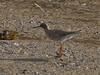 Redshank (Tringa totanus). Copyright Peter Drury 2010<br /> On the mudbank alongside the Aggregates Quay.