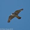 Peregrine (Falco peregrinus). Copyright Peter Drury 2010