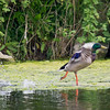 29 April 2011. Mallard Drake at Milton Common. Copyright Peter Drury 2011
