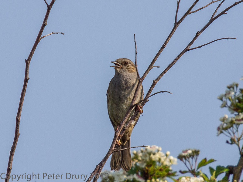 23 May 2012 Dunnock singing above the Hayling Billy Trail