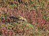 15 Oct 2011 Meadow Pipit searching for prey in the marshes alongside the Hayling Billy Trail.